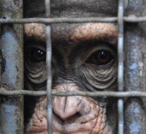 koko-chimpanzee